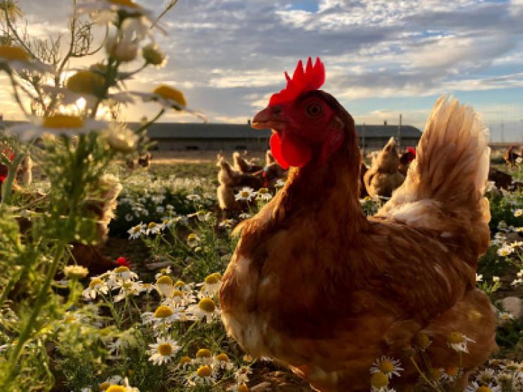 Des nouvelles de nos poules !
