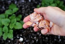 Les vertus jardinage des coquilles d'œufs